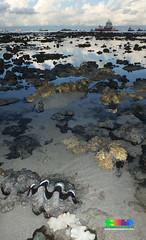 Fluted giant clam (Tridacna squamosa) (wildsingapore) Tags: terumbupempanglaut tridacnidae bivalvia mollusca tridacna squamosa singapore marine coastal intertidal shore seashore marinelife nature wildlife underwater wildsingapore