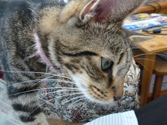 Mara ! (Mara 1) Tags: kitten tabby stripes black grey fawn coat fur indoors
