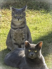 GATOS (BLAMANTI) Tags: gatos felinos
