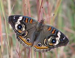 blackish Common Buckeye - yesterday (Vicki's Nature) Tags: buckeye commonbuckeye brown black spots touchofblue touchofwhite touchoforange grass big butterfly gibbsgardens georgia vickisnature canon s5 9550