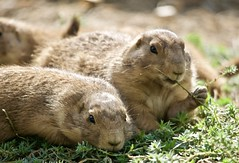 Planning to Take Over the World (Scott M. Mohn) Tags: sonyilca77m2 animal mammal outdoor nature wildlife blacktailedprairiedog prairie dogs zoo minnesota small cute prey adorable steppe furry grass cynomysludovicianus