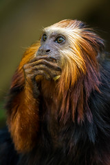 DSC_1318-1 (craigchaddock) Tags: zoe goldenheadedliontamarin leontopithecuschrysomelas parkeraviary sandiegozoo endangeredspecies newworldmonkey monkey tamarin goldenheadedtamarin goldenmarmoset goldenliontamarin