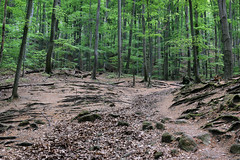 Roots on the open (Majorimi) Tags: canon eos 70d digital color colorful nice hungary forest tree green path nature light leaf root open walking
