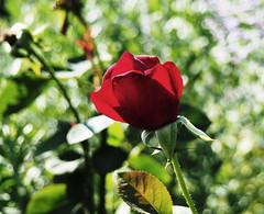 Brilliant red rose with bokeh (pilechko) Tags: morrisarboretum chestnuthill philadelphia pennsylvania flower color red rose bokeh light artistic gimp
