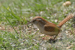 Carolina wren (altan o) Tags: bird carolina wren