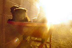 A Wheelbarrow Full of Chow Puppies Bathed in the Warm Glow of Sunset (Immature Animals) Tags: sunset arizona hot animal puppy lens backyard warm tucson az center marshall pima derek bark lensflare chow flare care wheelbarrow petco chowchow petfinder pacc petcofoundation barktucson