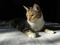 Izzy: Sun Lover (fordsbasement) Tags: cat feline caturday