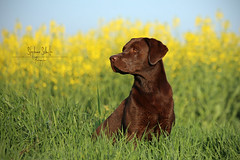 Hugo - field of rape (tagdrei) Tags: blue sky dog brown sun green nature wet yellow fur waiting sitting labradorretriever attention rapefield