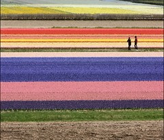 Meeting in the colours... (mau_tweety) Tags: pink blue red brown flower holland verde green netherlands field yellow colours blu rosa meeting file row line persone giallo tulip campo persons fiori rosso hyacinth marrone tulipano giacinto