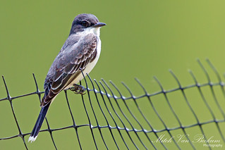 On The Fence - Eastern Kingbird