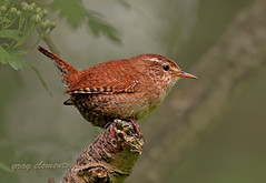 wren (gray clements) Tags: birds canon branch sitting beak feathers devon exeter wren usm smallbirds passeriformes jennywren troglodytestroglodytes riverexe britishbirds passeriforme exeestuary ukbirds flickrgrayclements