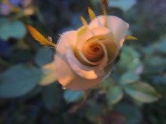 DSCN1397 (naterciacadorin) Tags: flower nature beautiful rose perfect