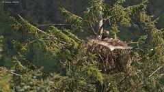 The Eagles' Nest (more shots in comments below) (KHR Images) Tags: wild bird nature scotland nikon nest wildlife chick 300mm isleofmull f4 birdofprey seaeagle whitetailedeagle tc17eii haliaeetusalbicilla d7100 kevinrobson glenseilisdeir khrimages