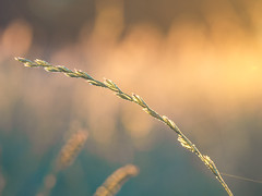 bow (Das StadtKind) Tags: grass halm sunrise dusk sonnenaufgang nature naturephotography macro makro macrophotography flickr new bokeh bokehlicious dof depthoffield olympusm2860 stadtkind kempten germany bavaria europe popular olympusem10markii