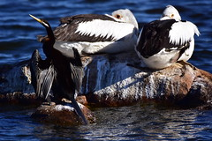 Taking a break from fishing (Luke6876) Tags: australianpelican pelican australasiandarter darter bird animal wildlife australianwildlife