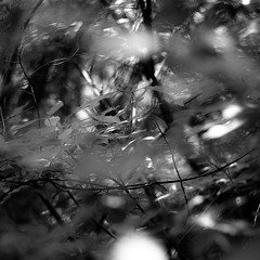 Across Forest Floors 007 (noahbw) Tags: d5000 dof nikon abstract blackwhite blackandwhite blur bokeh branches bw dreamlike dreamy forest hellernaturecenter landscape leaves light monochrome natural noahbw shadow square summer sunlight woods