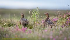 Grouse (Tony Raine) Tags: grouse shooting glorious12th birds gamebirds moor colour
