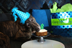 32/52 Eight is Greyt! (d.rizzle) Tags: dolcegambino 52weeksfordogs birthdayhat birthdaypawty cake greyhound wdallas candle