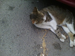 IMG12782 (chicore2011) Tags: community cat coping with torrid summer days