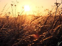 Weizenfeld (gentle flower) Tags: sweden weizenfeld sonnenuntergang sunset kornfeld land