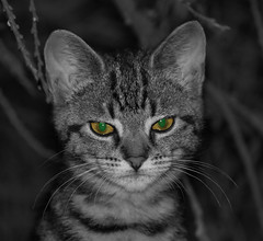 Ol green eyes 2 (ArtGordon1) Tags: selectivecolouring cat cateyes feline whiskers davegordon davidgordon daveartgordon davidagordon daveagordon artgordon1 walthamstow london england