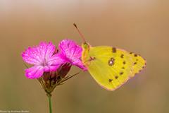 Gelbling (gelbe Acht) auf Karthusernelke (AnBind) Tags: makro schmetterlimg gelbeacht 2016 gelbling tiere technik