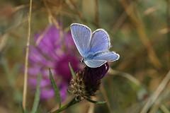 Common Blue (male) / Argus Bleu (Dr Wood's Wildlife Photos) Tags: polyommatusicarus argusbleu commonblue butterfly bluebutterfly ícaro icarodedospuntos icaro hauhechelbläuling κοινήγαλανηλύκαινα hohtosinisiipi vanligblåvinge puktörneblåvinge icarusblauwtje almindeligblåfugl