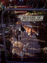Harrison visiting (EllenJo) Tags: pentaxqs1 august10 2016 ellenjo ellenjoroberts pentax dogs five chihuahua miniaturepinscher bostonterrier chiweenie harrison simon ivan floyd hazel smalldogs 5 harrisonvisiting timsdog pets bewareofattackchihuahua yard home clarkdale