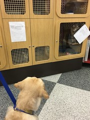Calvin looks at a cat up for adoption at Petco (hero dogs) Tags: dog labrador cute therapydog servicedog