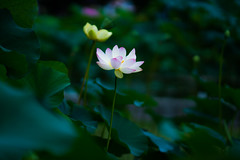 luminescence (qrsk) Tags: lotus flower peral plants leaves tokyo japan