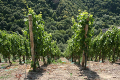 ckuchem-1440 (christine_kuchem) Tags: ahrtal anbau anbaugebiet eifel felsen rotweinwanderweg schiefer schieferfelsen sommer weinanbau weinberg weintraubenanbau weintrauben