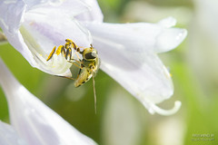 Nature calls-0815   To lick or not to lick (>>Marko<<) Tags: nature outdoor suomi finland canon valokuvaus insect macro flowerfly kukkakärpänen