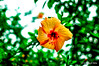 Hibiscus (Subhrajyoti Saha) Tags: hibiscus garden greenery yellow india kolkata newtown 35mm18dx nikond3200 primelens fastprime prime handheld daylight flower bestphotographers nikkor insect spider dof bokeh depthoffield aftertherain urbanlandscape red subhrajyotisaha