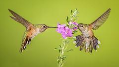Broad-tailed Hummingbirds (Eric Gofreed) Tags: arizona broadtailedhummingbird cocoinocounty hummingbird oakcreekcanyon ngc