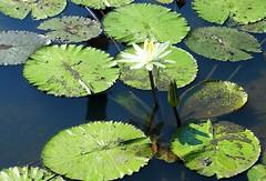 DP1U4099 (c0466art) Tags: 2016 summer season lotus field  wate rlilies cloom colorful flowers scenery landscape canon 1dx c0466art