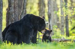 Mothers Love (Scott Joshua Dere) Tags: bearlove blackbears family mothers love forever