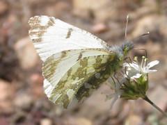 Large Marble (Euchloe ausonides) (tigerbeatlefreak) Tags: large marble euchloe ausonides insect butterfly lepidoptera pieridae wyoming