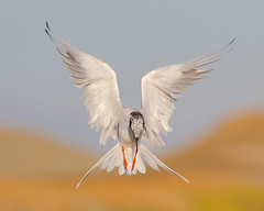 Hovering! (bmse) Tags: forstersternhovering bolsachica canon 7d2 400mm f56 l bmse salah baazizi wingsinmotion