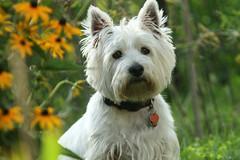Chico (suebmtl) Tags: garden adorable westie terrier westhighlandterrier white portrait closeup