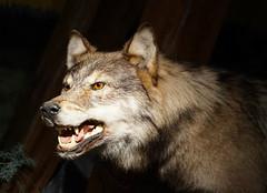 Monday face - der bse Wolf (Krnchen59) Tags: wolf tier figur mrchen villafridheim norwegen norge urlaub krnchen59 elke krner sony