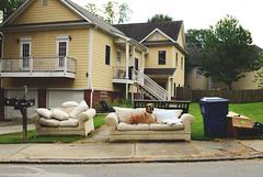 No. 46 of #sofasinthewild (moke076) Tags: fawn dog animal pet moose great dane couch sofa abandoned sofasinthewild atlanta georgia sideoftheroad sidewalk nikon d7000 reynoldstown set chair large yellow house overstuffed trash