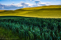Hills and Dales (Culinary Fool) Tags: wheat usa washington 2016 hill clouds palousescenicbyway roadtrip brendajpederson travel culinaryfool photography rollinghills palouse farm ranch may wa travelwa 2470mm28