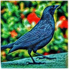 Cuban Blackbird (plismo) Tags: guardalavaca holguin cuba blackbird bird cubanblackbird