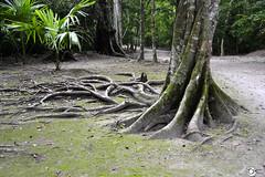 Arrels (AnnaRoviraC) Tags: selva jungle tikal tree arbol arbre nature natura raices arrels root guatemala america