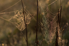 Altweibersommer (henrik_thiele) Tags: spinnennetz spiders web spider spinnen altweibersommer sonnenaufgang warm light sunrise bokeh waterdrops wassertropfen
