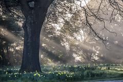 Spring morning (Ian@NZFlickr) Tags: dunedin botanic gardens spring otago nz mist morning rays