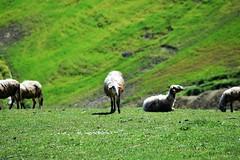 Sheeeeeeeeps (bimbafragola) Tags: calabria italy sheeps animals