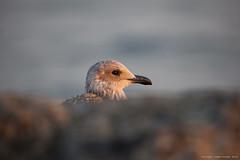 Young Herring Gull ( Larus argentatus ) / onvolwassen zilvermeeuw (kramerich10) Tags: meeuwen zilvermeeuw zuidpierijmuiden