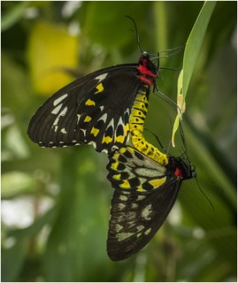 Birdwings Mating