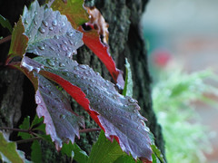 () Tags: autumn leaves parthenocissus liane september